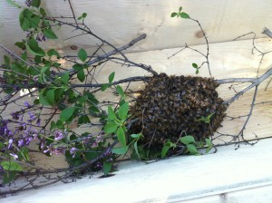 28 Peel Ave swarm (5 May)