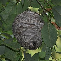 Bald-faced_hornet_(Dolichovespula_maculata)_nest