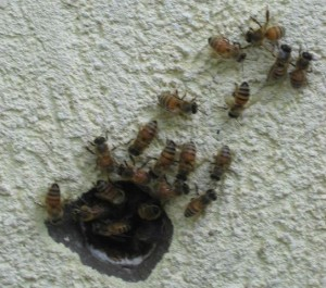 NJ bees in wall