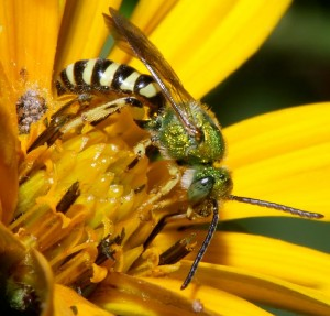 Tiger Striped Green Metallic Bee