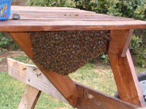 bee swarm on picnic table