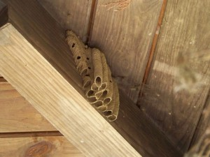 mud dauber wasp nest