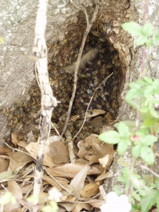 Wild honeybee hive in tree