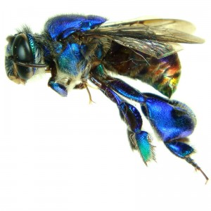 metallic orchid bee